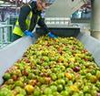 Green apples on conveyor