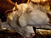 cows animal welfare farm