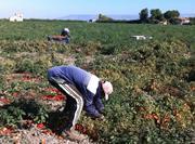 Migrant tomato workers