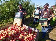 Workers harvesting apples_single use only