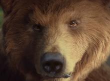 Bear nibbles ad web