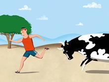 Dairy cow chasing man