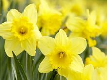 daffodils flowers easter