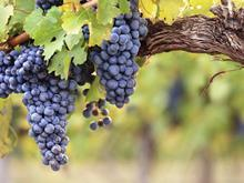 grapes vine wine