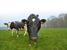 Waitrose Mo the cow with camera