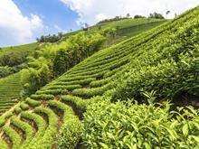 Tea crops