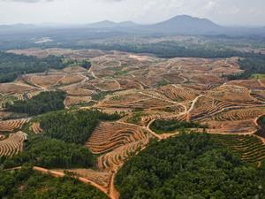 palm oil deforesation
