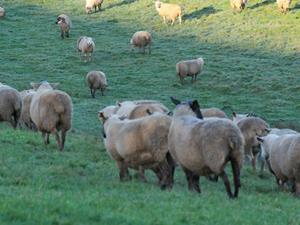 lamb sheep import