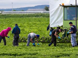 One use - migrant veg pickers