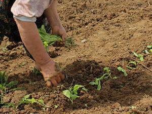 worker picking veg farming