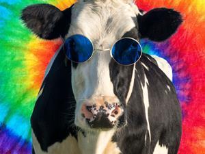 Hippie cow