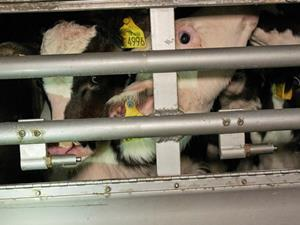 RSPCA live exports calves