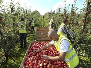 Apples pickers - one use