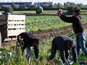 Veg pickers on a UK farm - ONE USE
