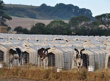 Animal Equality dairy calfs