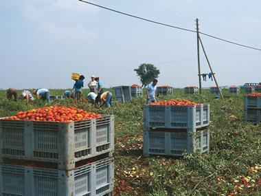 tomato pickers