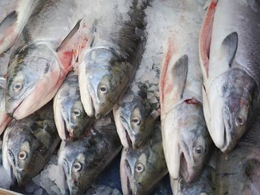 Scottish salmon fish