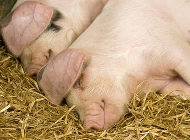 Content pigs