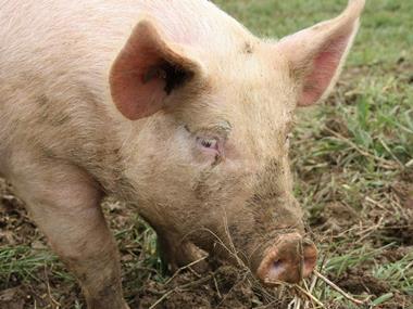 Animal medicines, pig in mud