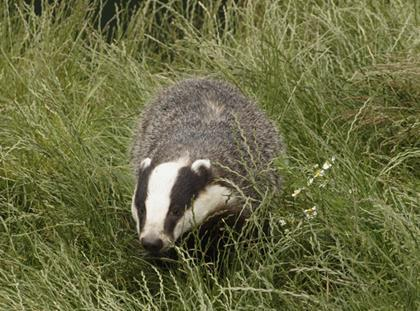 Campaigners call for clarity over badger cull in organic sector