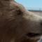 Muller bear